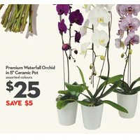 "Premium Waterfall Orchild In 5"" Ceramic Pot"